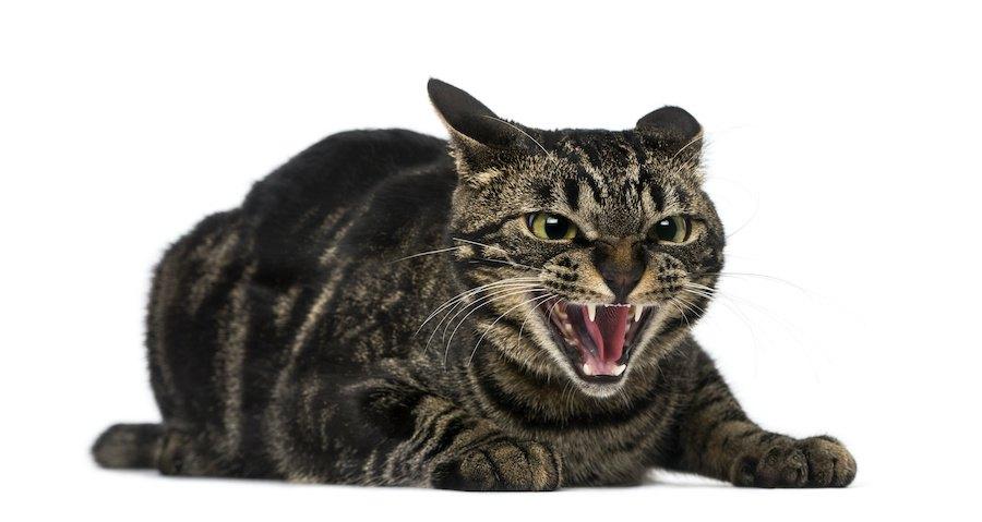 怒って威嚇している猫