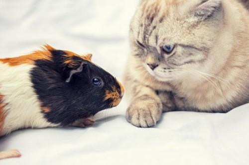 猫とモルモット