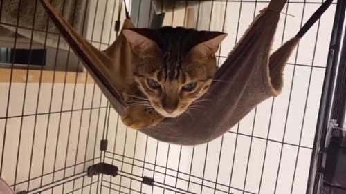ハンモックにいる猫