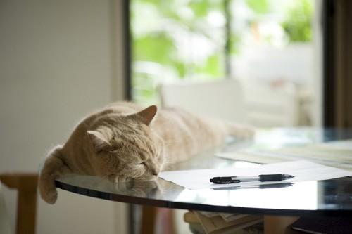 テーブルの上で眠るタビーのブリティッシュショートヘア