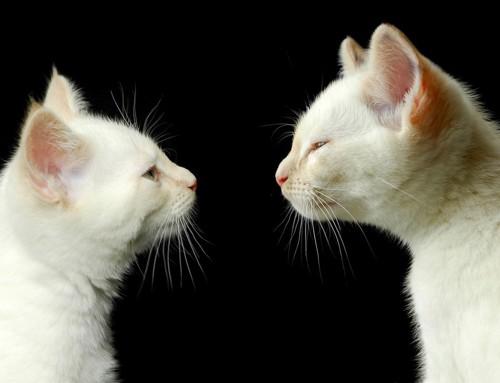 見つめ合う2匹の白猫
