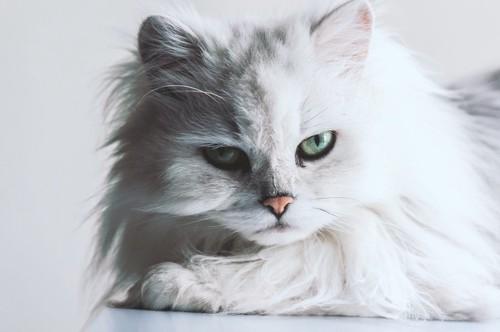 真剣な表情で見つめる猫