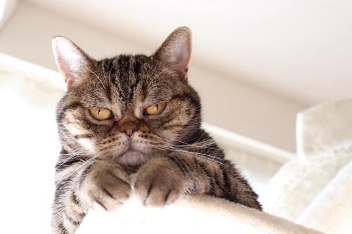 キャットタワーの上からこちらを見下ろす猫