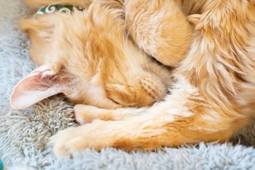 丸くなって眠る茶猫