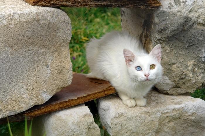 ターキッシュバンのオッドアイ猫