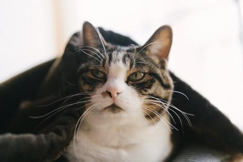 横を向いている毛布をかけた猫