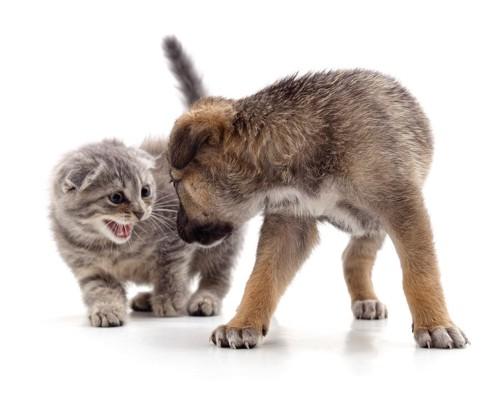 犬に噛みそうな子猫