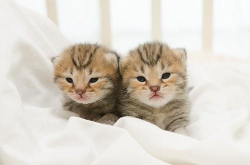 生まれたばかりの二匹のアメリカンショートヘアの子猫