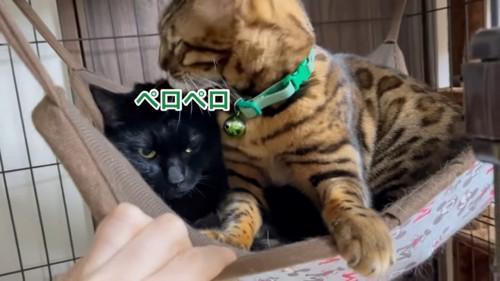 黒猫の頭をなめるベンガル