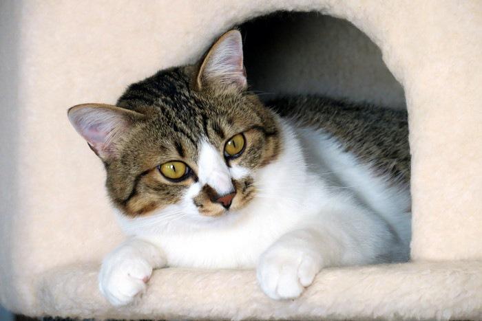 ハウスから顔を出す猫
