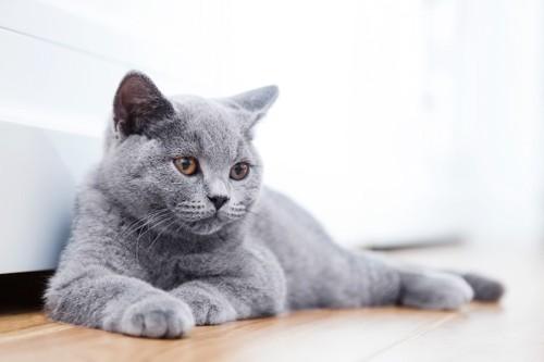 視線をそらすグレーの猫
