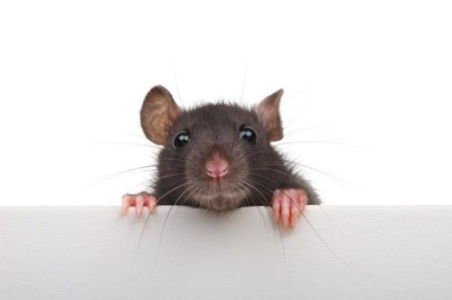 ソファから覗くネズミ