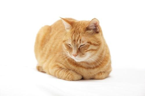 香箱座りで眠っている茶トラ猫