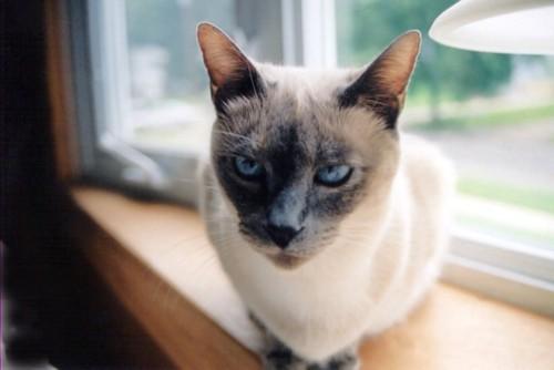 窓辺にいてこちらを見る猫