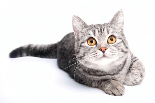 こちらを見つめる瞳の大きな猫