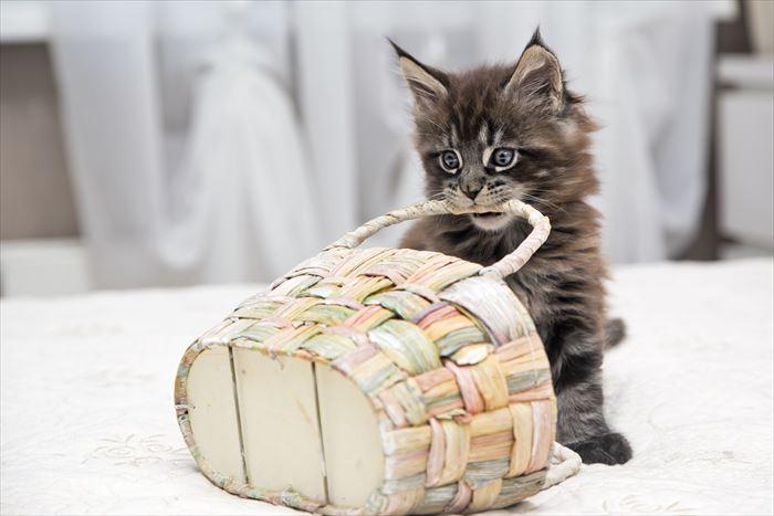 かごをくわえるメインクーンの子猫
