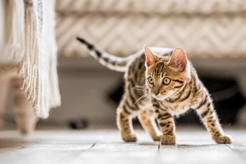床に立っている猫