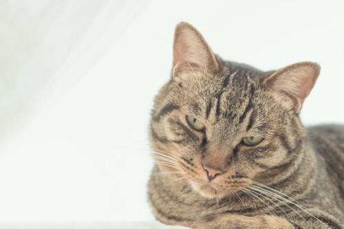 不機嫌そうな表情で視線を逸らす猫