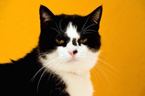 鼻に黒い模様がある猫