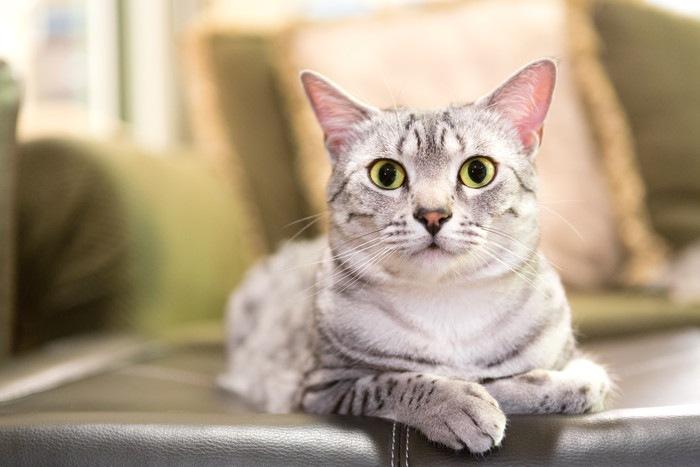 ソファーで伏せている猫