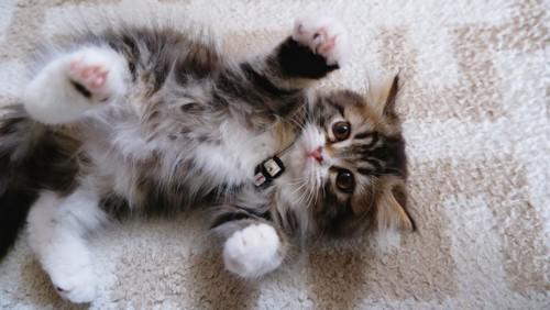 お腹を見せる子猫