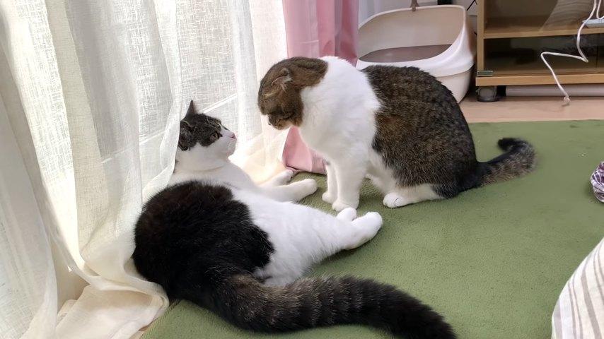 見つめ合う2匹の猫