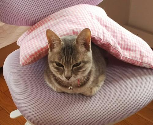 椅子で寝る猫