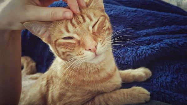 撫でられるキジ猫