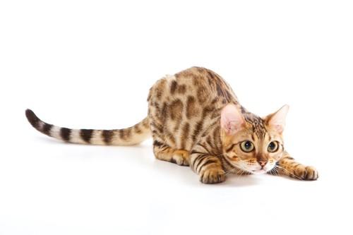 姿勢を低くして何かを狙っている猫