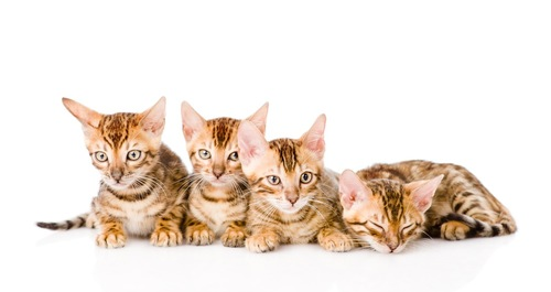ベンガルの子猫たち