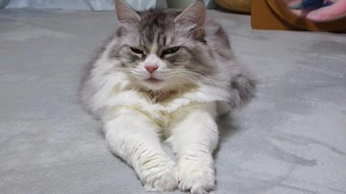 前足を伸ばして座る猫