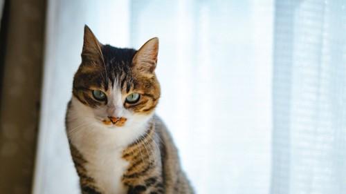 ジッと見つめる猫