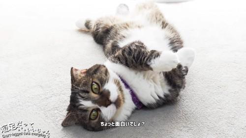 頭の方から見た仰向けの猫