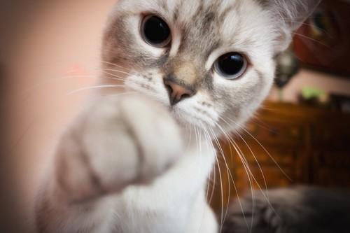こちらに手を伸ばす猫のアップ