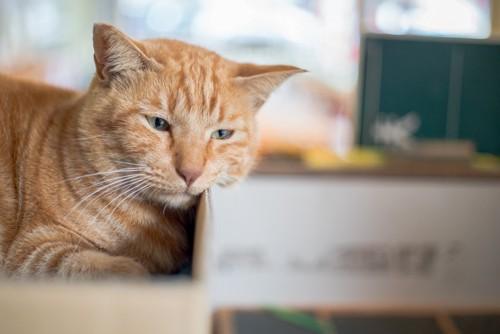 箱に入っている茶トラ猫