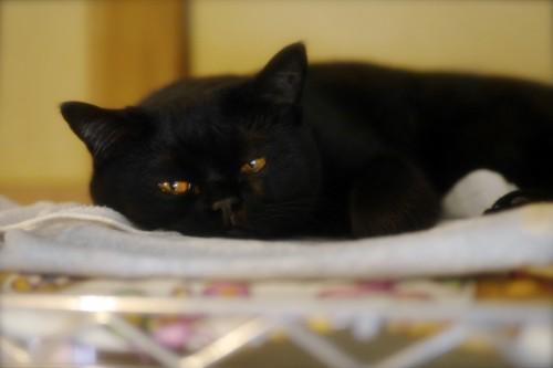 スチール棚の上の黒猫
