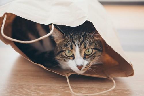 紙袋の中に入ってこちらを見つめる猫