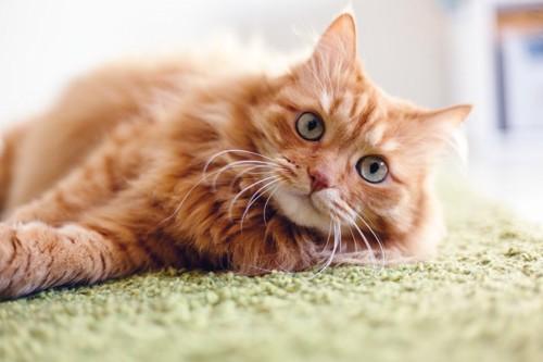 左向きに寝る茶色猫