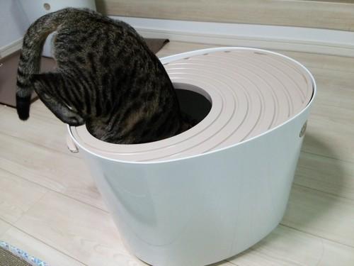 トイレを覗く猫ちゃん1