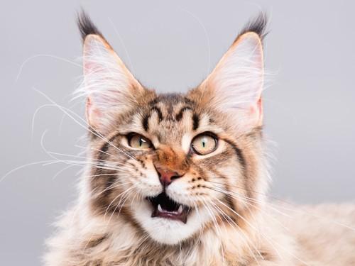 口を開けて怒っている猫