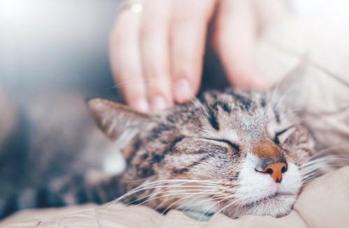 頭を撫でられて目を閉じている猫