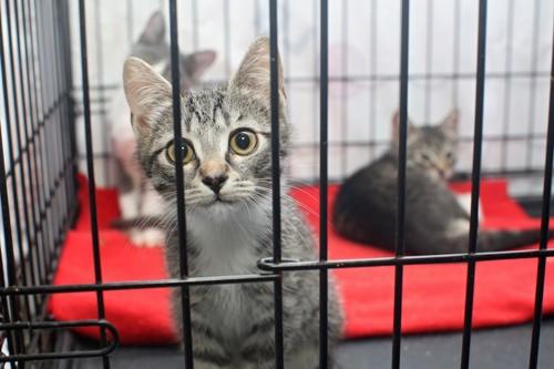 ケージの中から見つめる保護猫