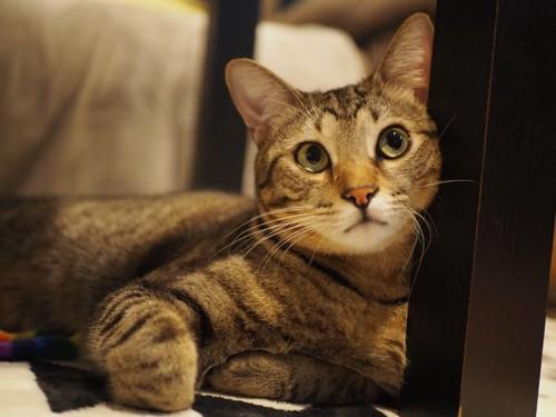 人の話を聞く猫