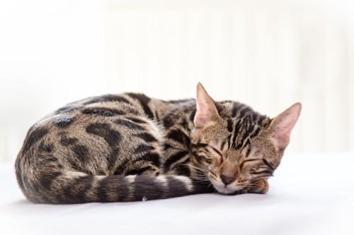 丸まって眠るベンガル猫