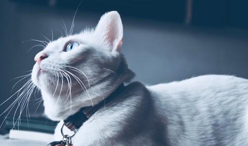 首輪を付けた猫の顔アップ