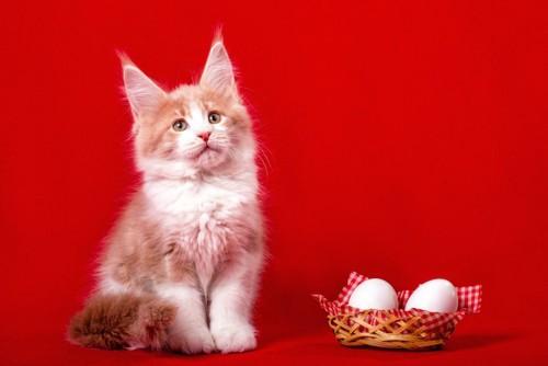 卵の側に座るメインクーンの子猫