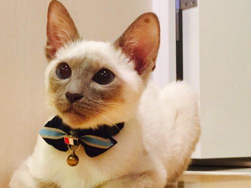 青い首輪の猫