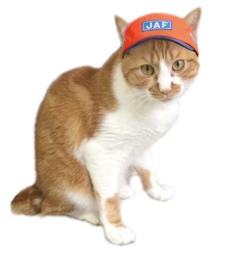 JAFの帽子をかぶった茶色と白の猫