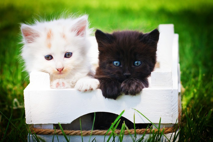 箱の中に白色の子猫と黒色の子猫