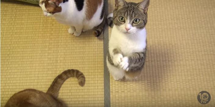 両手を合わせこちらを見る猫